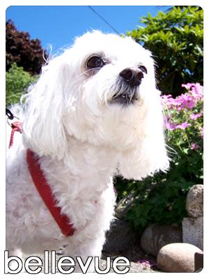 Dog Walkers Bellevue, Pet Sitters Bellevue, Sniff Seattle Dog Walkers