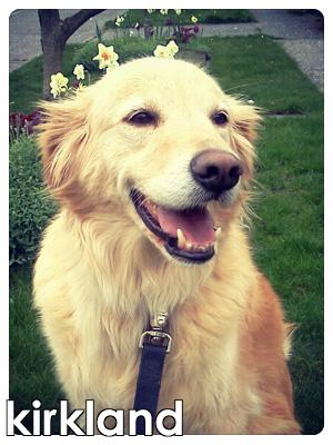 Dog Walkers Kirkland, Pet Sitters Kirkland, Golden Retrievers