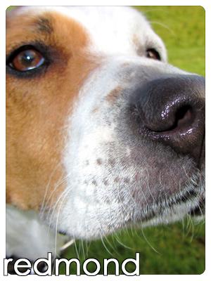 Dog Walker Redmond, Redmond Puppy Care, Boxers (Dogs)