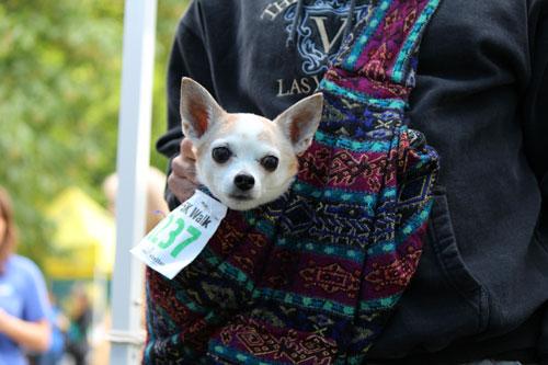 Furry 5K Photos 2013, Furry 5K Seattle, Dog Walker Bellevue Seattle