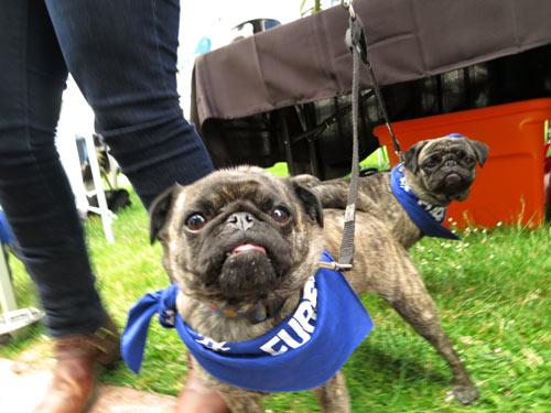 Furry 5K Seattle, Cute Dogs, Sniff Seattle