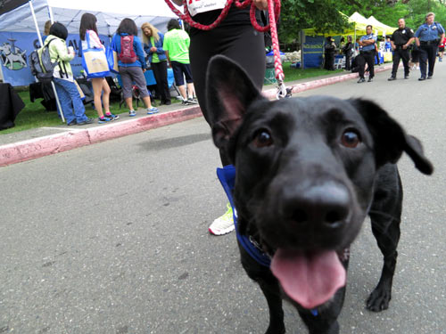 Furry 5K Seattle, Cute Dogs, Sniff Seattle