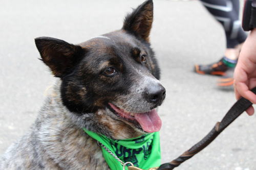Furry 5K Seattle, Happy Dogs, Sniff Seattle