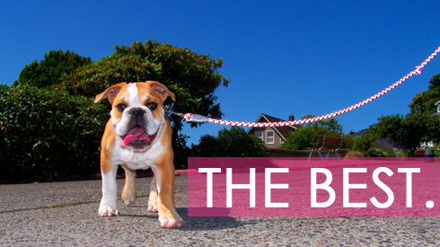 Best Of Western Washington, Bulldogs, Sniff Seattle Bellevue Dog Walkers