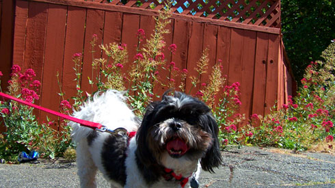 Sniff Seattle Dog Walkers, Dog Walking Services Greenwood, Shih Tzus