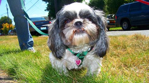 Sniff Seattle Dog Walkers, Greenwood Seattle Dog Walking, Shih Tzus