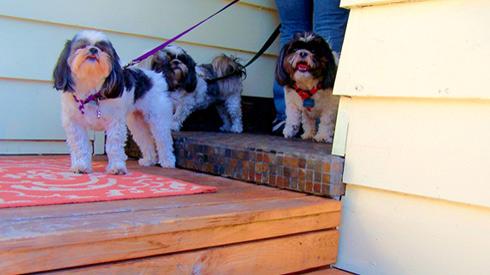 Sniff Seattle Bellevue Dog Walkers, Dog Walkers Greenwood, Shih Tzus