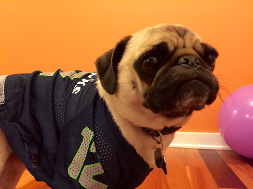Stewie The Pug, Sniff Seattle's Bow Wow Blue Friday, Seattle Seahawks