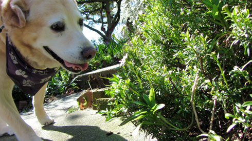 Bonesy, Yellow Lab, Labradors