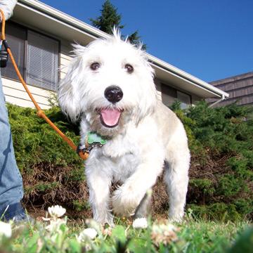Best Dog Walking In Seattle, Schnoodle, Sniff Seattle Dog Walkers