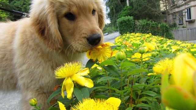 Sniff Seattle Dog Walkers Best Kirkland Dog Walking 98033