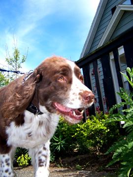 Dog Walking In Ballard, Sniff Seattle Dog Walkers, Casey The Springer Spaniel