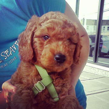 Alfred, Goldendoodle Puppy