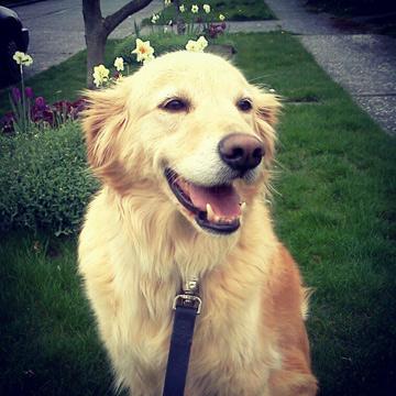 Dog Walkers Magnolia, Golden Retrievers, Sniff Seattle