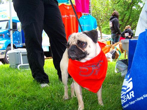 Furry 5K Photos, Pugs, Sniff Seattle Bellevue Dog Walkers