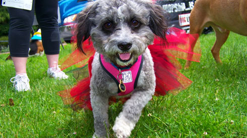 Furry 5K Seattle, Seattle Animal Shelter, Sniff Seattle Bellevue Dog Walkers