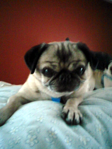 Sniff Seattle Dog Walkers, Parfait the Pug, Seattle Pug Rescue