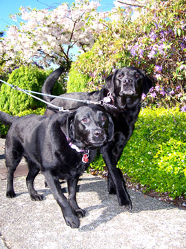 Dog Walking In Windermere, Sniff Seattle Dog Walkers, Black Labs