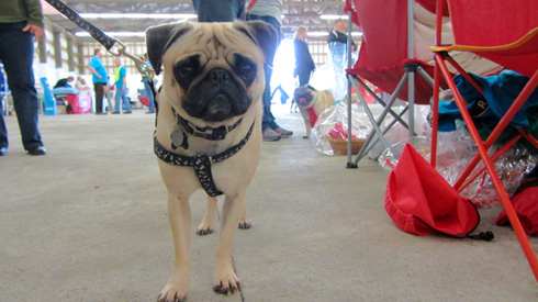 Stewie The Pug, Pug Gala, Sniff Seattle