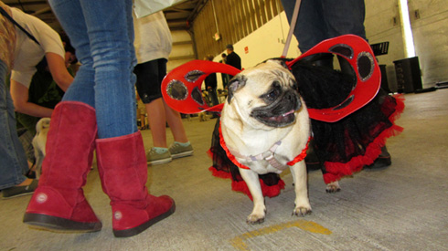 Pug Costume, Seattle Pug Rescue, Sniff Seattle Dog Walkers