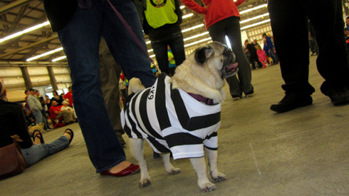 Funny Pug, Pug Gala, Sniff Seattle