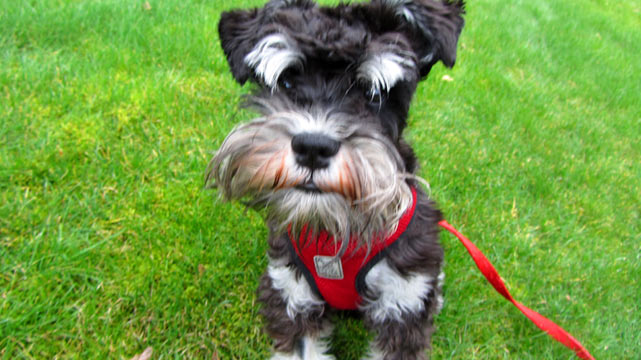 Shoreline Dog Walkers, Miniature Schnauzer Puppy, Sniff Seattle Dog Walkers