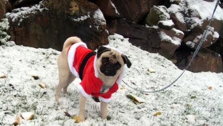 Sniff Seattle Bellevue Dog Walkers, Stewie The Pug, Santa Paws