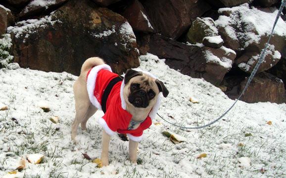 Sniff Seattle, Dog Walkers, Stewie, Santa Paws, Snow, Pug