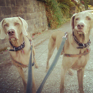 Queen Anne Dogwalker, Weimaraners, Sniff Seattle