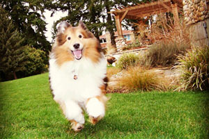 Bellevue Dog Walking, Shetland Sheepdogs, Bellevue Dogs