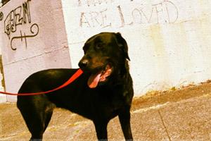 Dog Walking NE Seattle, Bellevue Seattle Dogs, Black Lab
