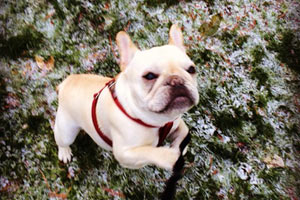 Dog Walking Madison Valley, Sniff Seattle Bellevue Dog Walkers, French Bulldogs