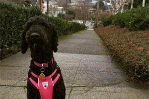 Dog Walker Queen Anne, Space Needle, 98109 98119 Dog Walking