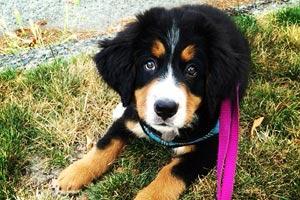 Dog Walker Mt. Baker, Sniff Seattle Bellevue, Puppy Walking Seattle