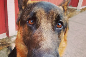 Dog Walker Lynnwood WA, German Shepherd, Big Dog