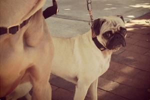 Seattle Bellevue Dogs, Dog Walker Ballard, Pug Weimaraner