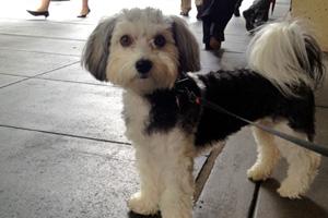 Dog Walker Belltown, Sniff Seattle Bellevue, Havanese Dog