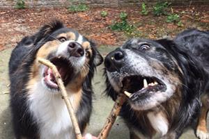 Dog Walker Bryant Seattle, Aussie Dog, Australian Shepherd