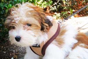 Dog Walker Wallingford, Havanese Puppies, Sniff Seattle Bellevue Dog Walkers