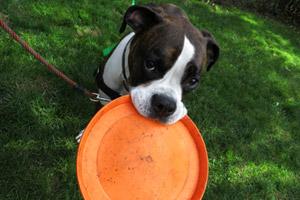 Dog Walker Ballard, Dog Walker For Boxers (Dogs), Sniff Seattle Bellevue