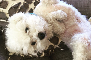 Dog Walker Sand Point, Miniature Poodle, Cute Dog