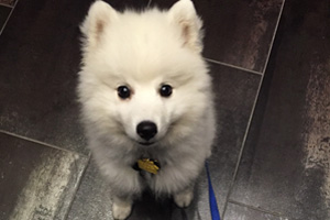 Capitol Hill Dog Walker, Puppy, Japanese Spitz
