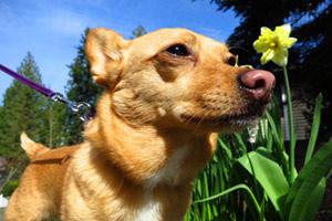 Kirkland Dog Sitter, Corgi-Chihuahua Mix, Dog Walker Bellevue Seattle