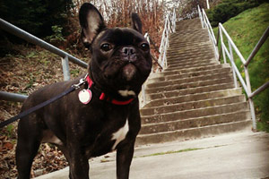 Bellevue Seattle Dogs, French Bulldogs, Dog Sitter Magnolia
