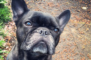Seattle Dogs, French Bulldogs, Dog Walking 98102 98112