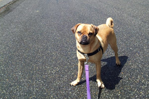 North Seattle Dog Walking, Bellevue Seattle Dogs, Puggle Dogs