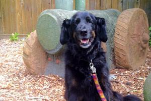 Spaniels, Pinehurst Dog Walking, Bellevue Seattle Dogs