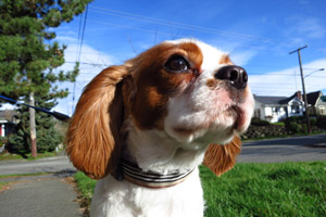 Sniff Seattle Bellevue Dogs, Cavalier King Charles Spaniel, Ravenna Dog Walker