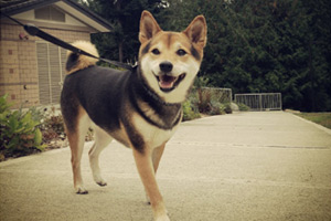 Dog Walker Shoreline, Shiba Inu, Sniff Seattle Shoreline