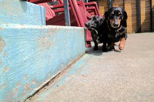 Dog Walker Wedgwood, Dachshunds, Sniff Seattle Bellevue Dog Walkers